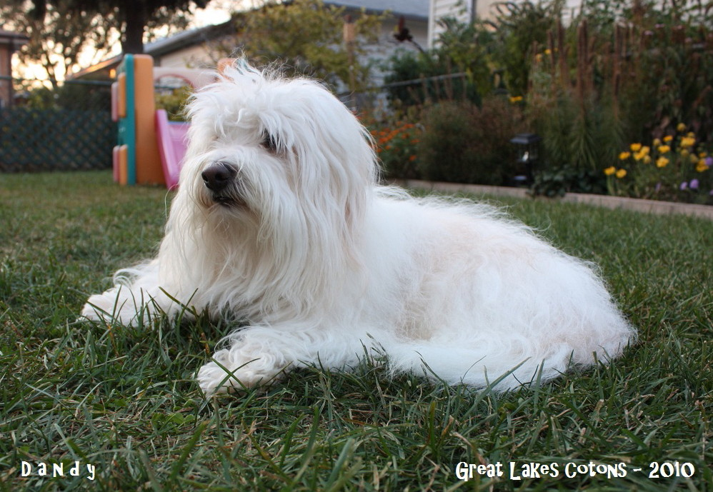 Great Lakes Cotons Breeders Of Coton De Tulear Puppies In Illinois